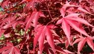 Acer palmatum 'Atropurpureum'.