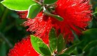 Callistemon speciosus