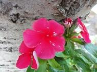 Catharanthus roseus -vinca