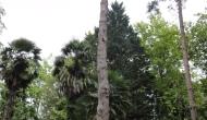 Cupressus leylandii
