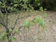 Celtis australis