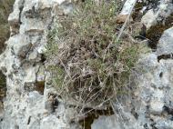 Arenaria aggregata