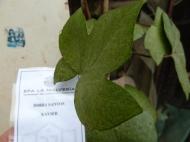 Hedera maroccana