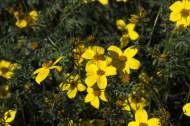 Bidens ferulifolia