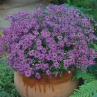 Brachycome iberidifolia