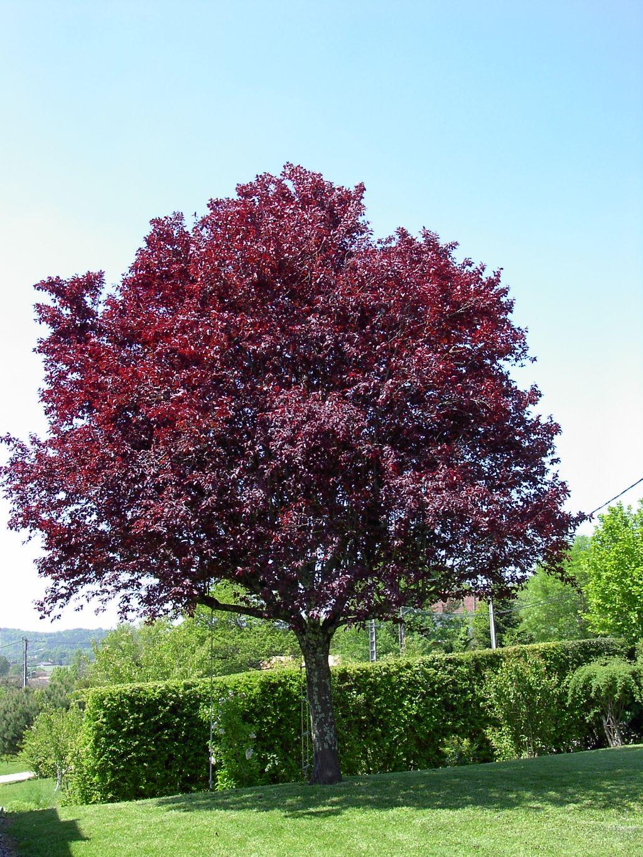 Prunus cerasifera var pissardii herbario de bot nica for Arbol ciruelo de jardin