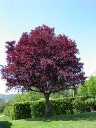 Prunus cerasifera var.pissardii