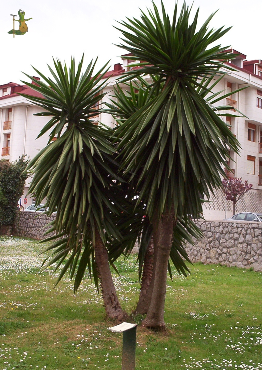 Yucca elephantipes herbario de bot nica ornamental for Yuca planta de exterior