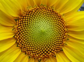 https://herbariobotanicaornamental.files.wordpress.com/2012/04/girasol-11.jpg?w=269&h=190