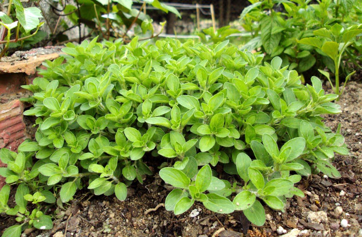 5 pasos para cultivar tu planta de orégano   POT Store