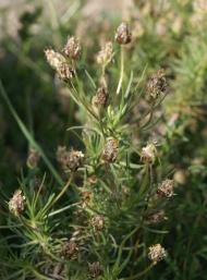 Plantago sempervirens