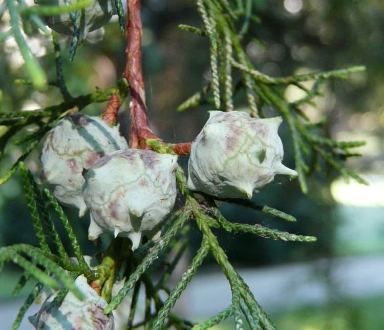 planta cedro blanco
